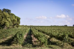 Vignoble du Mas Sauvy